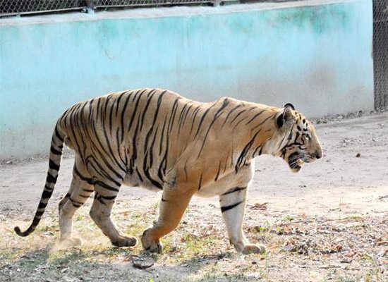 Tiger kills 39-year-old person in H D Kote in Karnataka