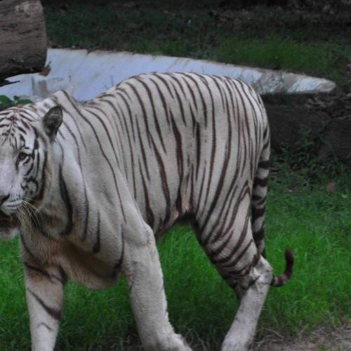 White Tiger in Bengal den