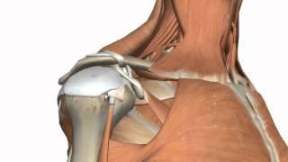 sholdar pain