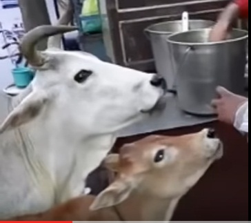 cow pani puri
