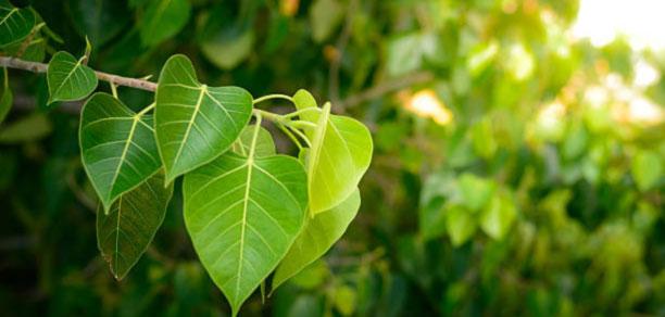 peeple tree