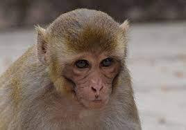 Monkey B Virus Symptoms? Monkey B Virus Transmitted From Bandar To Humans
