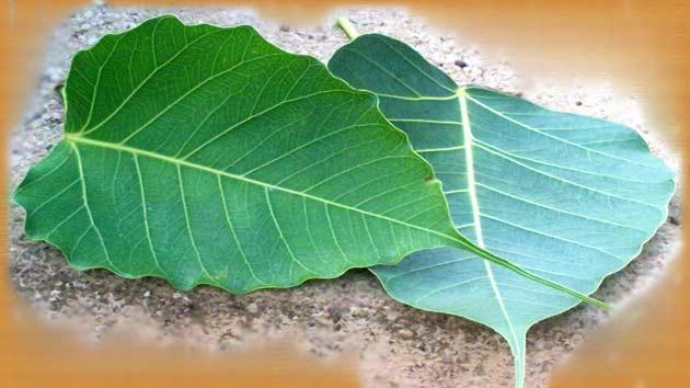 Image result for पीपल के पेड़
