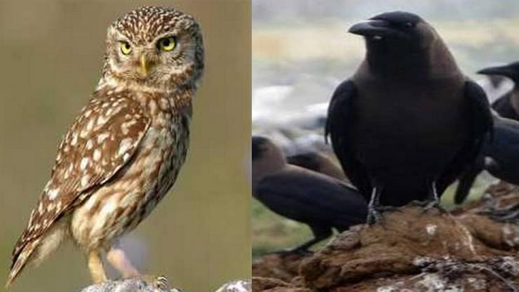 Crow owl