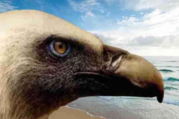 griffon vulture of rupal