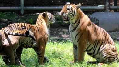 टाटा स्टील जूलॉजिकल पार्क के रॉयल बंगाल टाइगर की तस्वीरें