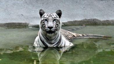 गर्मी से राहत पाने की कोशिश करता सफेद टाइगर