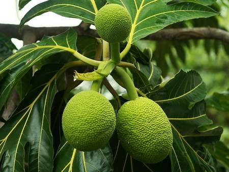 Vastu , Vastu news , home , food , bred fruit , കടപ്ലാവ് , പഴമക്കാര് , വീട്ടിൽ കടം , കടച്ചക്ക , ശീമച്ചക്ക