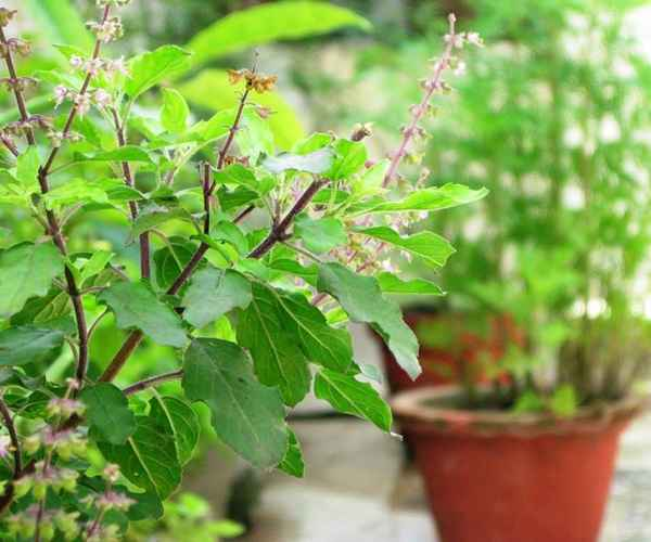 Tulsi Plant  , Astrology , Spirituality , തുളസി , തുളസിച്ചെടി , ജ്യോതിഷം , ആത്മീയം
