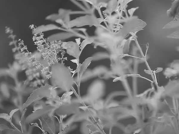 tulsi plant , tulsi , astrology , astro , വിശ്വാസം , തുളസി , ഹൈന്ദവ വിശ്വാസം