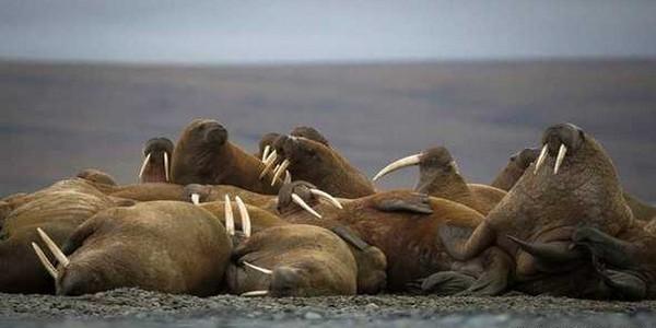 கூட்டம் கூட்டமாக கரைக்கு வரும் வால்ரஸ் கடல் விலங்குகள்