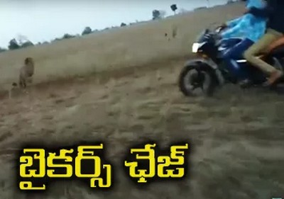 Bikers Chasing Lion