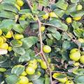 badari tree